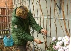 Как обрезать лозу винограда