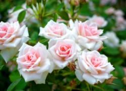 Летние заботы о розах