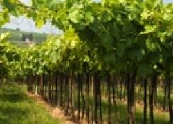Виноградник: рыхлить или косить