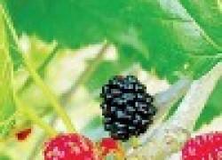 Почему тутовник не плодоносит