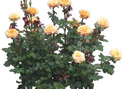Как пересадить старые кусты роз
