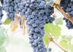 Почему лопаются и гниют ягоды винограда