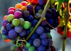 О качестве посадочного материала винограда