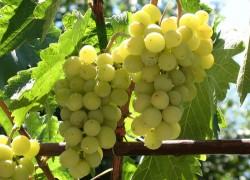 Что нужно винограду, чтобы образовалась гроздь