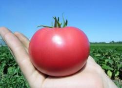 Сорт томата: Тарпан