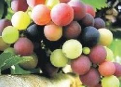Осенние подкормки винограда