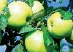 Мегасорт Россиянка: первый лечебный сорт яблок