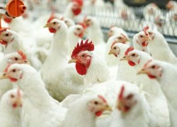 Чем кормят кур на птицефабриках