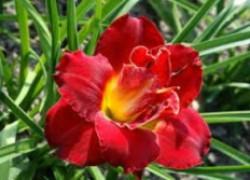 Посадите чудо-лилейники в саду