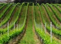 Виноградник по-новому