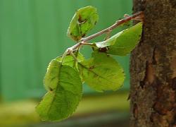 Обрезка деревьев в саду без секатора