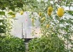 Правила выращивания дыни в теплице
