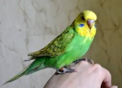 Попугай не хочет нести потомство