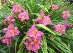 Время для размножения лилейников