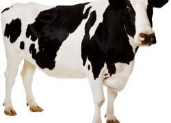 Коровам нужна помощь