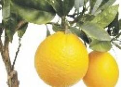 Вырастет ли апельсин из косточки