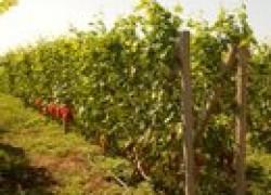 Виноградник для начинающих