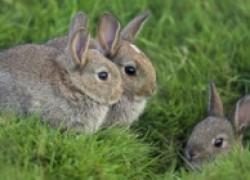 Кролики без приплода