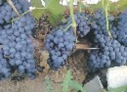 Новые сорта и гибриды винограда