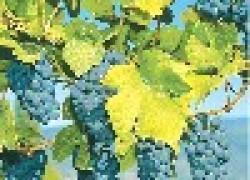 Как заработать на винограде