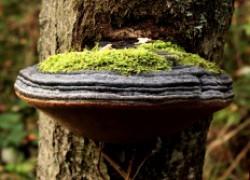 Трутовик: гриб-разрушитель