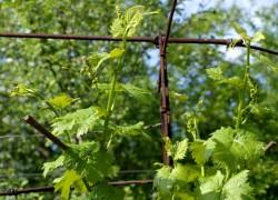 Как правильно ухаживать за молодым виноградом