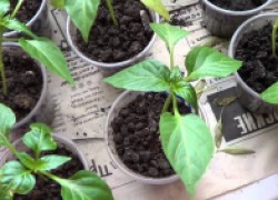 Выращиваю крепкую рассаду перцев по своему способу