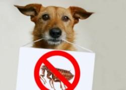 Как определить, что у собаки ушной клещ