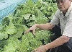 Куда деть урожай пекинской капусты