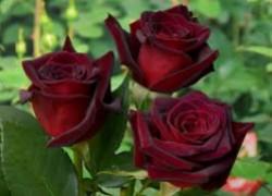 Вместо розы вырос шиповник