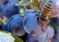 Вредят ли пчелы винограду?
