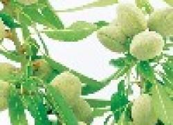 Прививка миндаля на персик