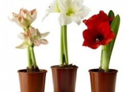 Не цветёт гиппеаструм