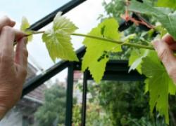 Зачем прищипывать виноградные побеги