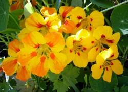 Настурция садовая лиана