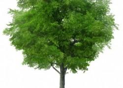 Сколько лет проживет дерево
