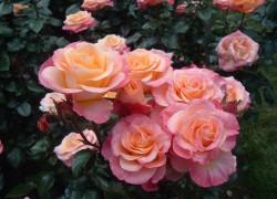 Из розы вырос шиповник. Что делать?