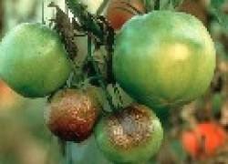 Как  бороться против фитофторы томатов