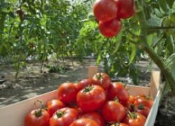 Выращивание шикарных томатов по бабушкиному рецепту