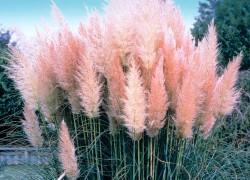Пампасная трава: кусочек бразильской экзотики