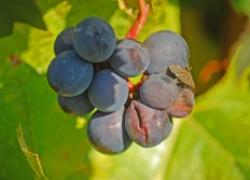 Почему трескаются ягоды винограда