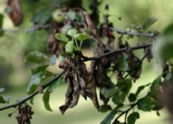 Почему сохнут ветви на деревьях?