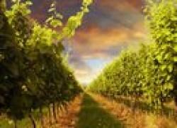 Ревизия на винограднике