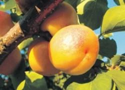 Осыпаются абрикос и слива