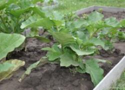 Сажаем семена баклажанов в кассеты (видео)