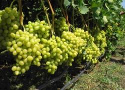 Лучше не догрузить виноград, чем перегрузить