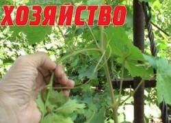 Зачем винограду пасынки