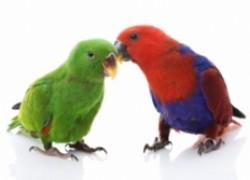 Оспа у попугаев