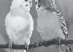 Попугай отгрыз коготок