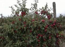Наш интенсивный яблоневый сад растёт!